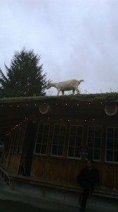 I went to a market with goats on the roof. They stay on the roof where they have a little pen.